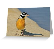 Golden Bunting - African Colorful Wild Birds Greeting Card