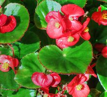 Wax Begonia by James Brotherton