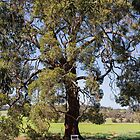 Marri Tree (Corymbia calophylla) by Elaine Teague