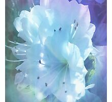 Colorful  Whispers of White Azaleas Photographic Print