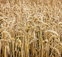 Wheat by PatiDesigns