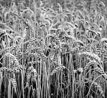 Black and White Wheat by PatiDesigns