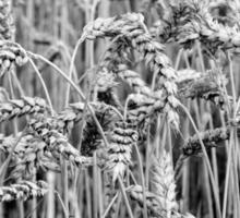 Black and White Wheat Sticker