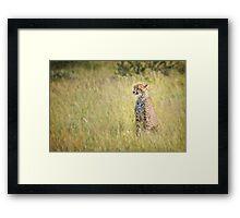 Young Male Cheetah in the Kalahari Framed Print