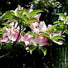 Springtime Blooming Dogwood by SummerJade