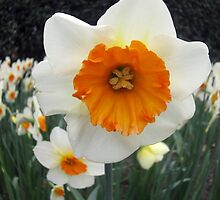 Daffodil by Colleen2012