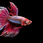 Siamese Fighting Fish in oil paint by Betta-Fish