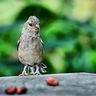 Female Chaffinch by Susie Peek