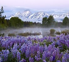 Teton Lupines 2 by David Kocherhans