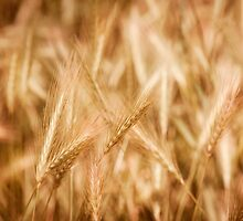 Golden ripe cereal ears grow on field  by Arletta Cwalina