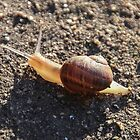 Snail In the Morning Sun by heatherfriedman