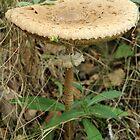 Parasol Mushroom by karina5