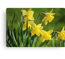 Daffodil Dreams Canvas Print