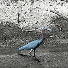 Small Blue Heron Male by 1observer