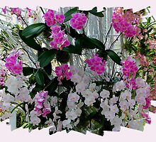 Orchids on Display by jwwallace