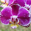 Phalaenopsis Perfection# 2 by Penny Smith