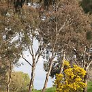 Wattle, Canberra ,means Spring by Tom McDonnell