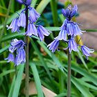 Twin Bluebells by Penny Smith