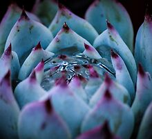 Succulent by laurarose