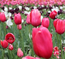 What's on our minds? Tulips of course — at Araluen Botanic Park  by jonolaf
