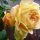Rose in the rain by Ana Belaj