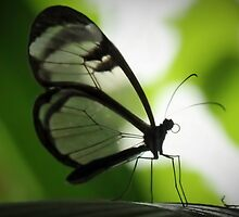 Glasswing Butterfly by martin bullimore