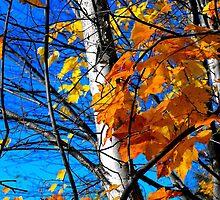 Birch Tree in Fall by christazuber