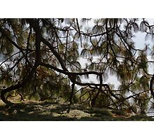 pine in the spring Photographic Print