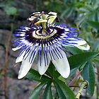 The Passion Flower by John (Mike)  Dobson