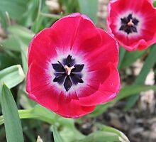 Pink Tulips by mrspleza
