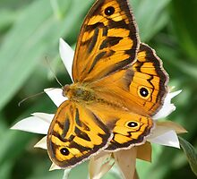 Australian Butterfly and Daisy by Margaret Saheed