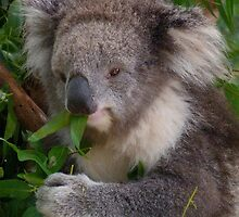 Young Victorian Koala Snacktime by Margaret Saheed