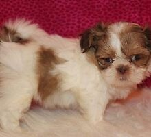 Shih Tzu Puppies for Sale Dallas by designshihtzu