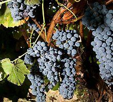 Grapes Vineyard  by BravuraMedia