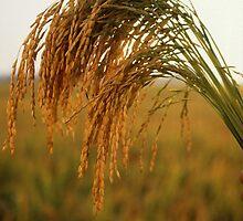 Long Grain Rice by BravuraMedia