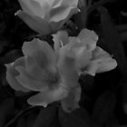 Country Roses-BW by PicsbyJody