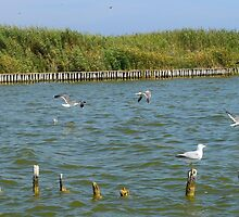 Seagull in the Albufera lake by jotagphoto