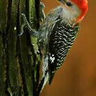 Woodpecker by Gaby Swanson  Photography