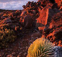Silversword, Maui by Michael Treloar