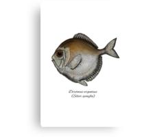 Silver spinyfin Canvas Print