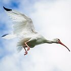 Ibis Overhead by Mikell Herrick