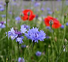 cornflowers and poppies by spetenfia
