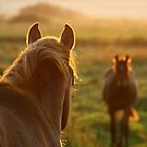 10.9.2014: Horses on Pasture at September Evening I by Petri Volanen