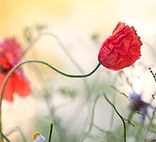 Poppy flowers by artsandsoul