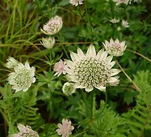 Detail of Astrantia Florence by Circe Lucas