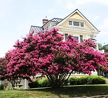 BEAUTIFUL CRAPE MYRTLE by Pauline Evans