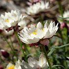 rhodanthe by Floralynne