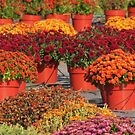 Mums For Sale by lorilee