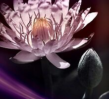 Lily and light 2 by DerekEntwistle