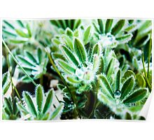 Water Drop on Lupin Leaves Poster